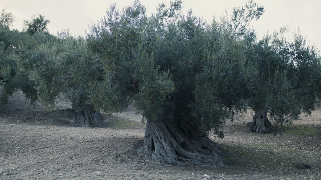 ancient olive trees in italy - eternity stock videos & royalty-free footage