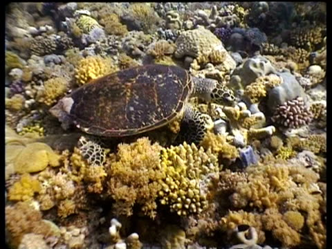 cu and ms hawksbill turtle foraging, moves over reef, layang layang, malaysia - foraging stock videos and b-roll footage