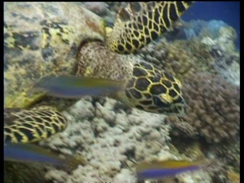 vídeos y material grabado en eventos de stock de cu and ms hawksbill turtle swims over reef, head in profile, layang layang, malaysia - patrones de colores