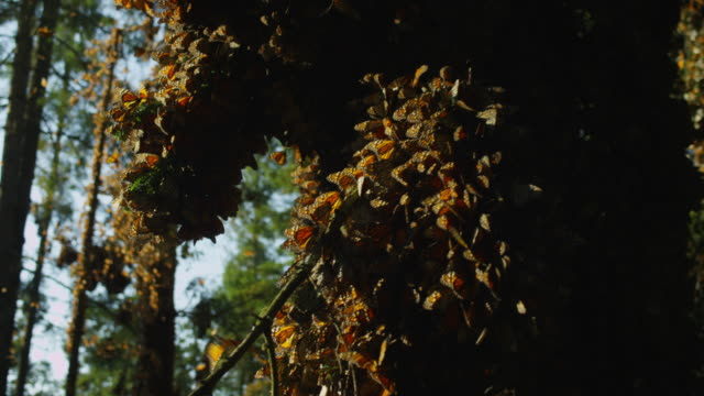 crane and pan massed monarch butterflies on tree branches - michoacán video stock e b–roll