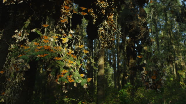crane and rotate round massed monarch butterflies on tree branches - michoacán video stock e b–roll