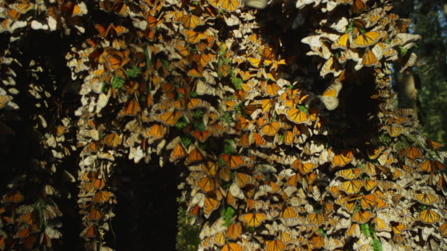 crane and rotate cu round massed monarch butterflies on tree branches - morelia video stock e b–roll