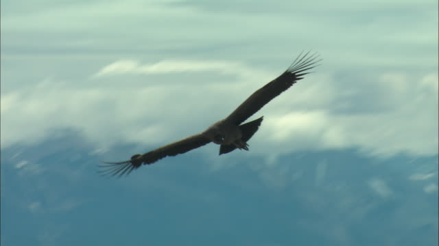 ms, ts, andean condor (vultur gryphus) flying over mountains, patagonia, argentina - argentina video stock e b–roll