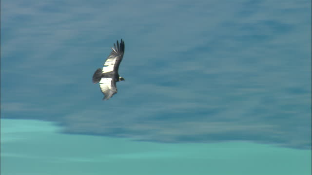 ms, ts, andean condor (vultur gryphus) flying over mountains, patagonia, argentina - argentina stock videos & royalty-free footage