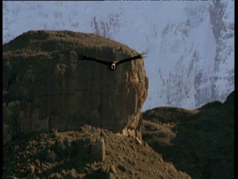 andean condor soars at camera, then out of shot - south america stock videos & royalty-free footage