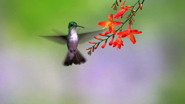 Andean Emerald hummingbird, Andes, Ecuador