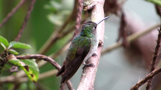 Andean Emerald With Bird Sound
