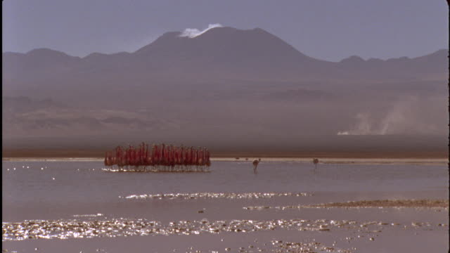 Andean Flamingo courtship dance in Soda Lake, Bolivia Available in HD.