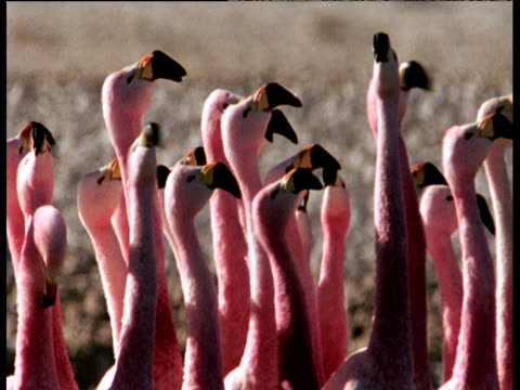 Andean flamingo flock wade and courtship dance in synchrony on soda lake