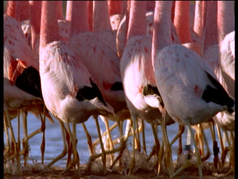 andean flamingo flock wade and courtship dance in synchrony on soda lake - balance stock videos & royalty-free footage