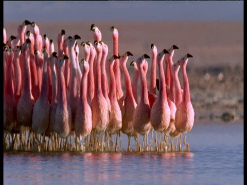 vidéos et rushes de andean flamingos wade and courtship dance towards camera - concours
