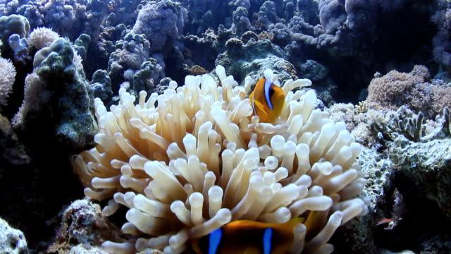 Anemon Fish Nemo