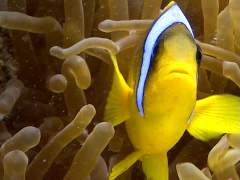 stockvideo's en b-roll-footage met anemone  and clown fish bcu - clownvis