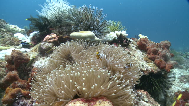 anemone and clown fish, mayne rock, sabah, malaysia, borneo - sea anemone stock videos and b-roll footage
