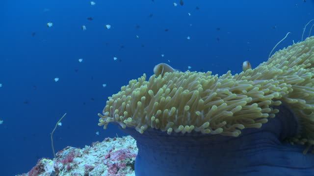 vídeos y material grabado en eventos de stock de ms anemone and skunk anemone fish / palau, micronesia, palau  - anémona marina cnidario