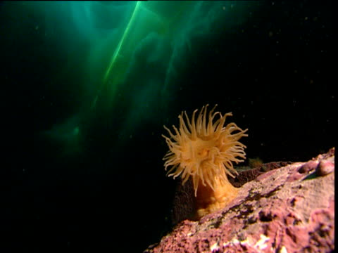 Anemone below crack in ice floe, Arctic Northwest Territories