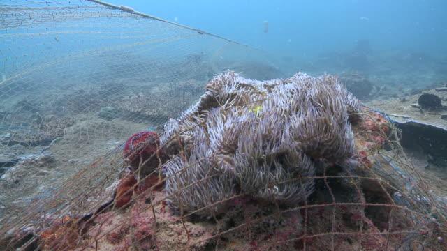 vídeos de stock e filmes b-roll de ms anemone caught in ghost net / kota kinabalu, sabah, malaysia  - rede de pesca objeto manufaturado