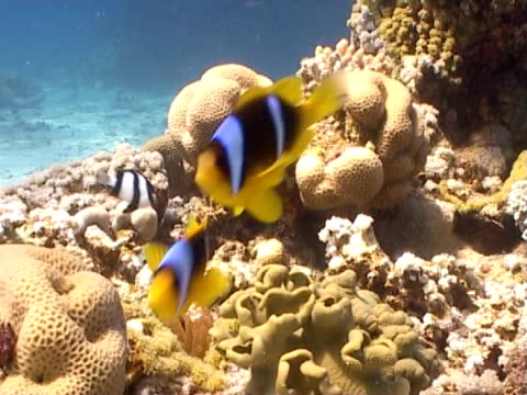 anemone clown fish attacking camera hide as swim - medium group of animals stock videos & royalty-free footage