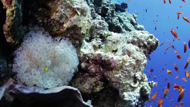anemone / clown fish -  red sea - rotes meer stock-videos und b-roll-filmmaterial