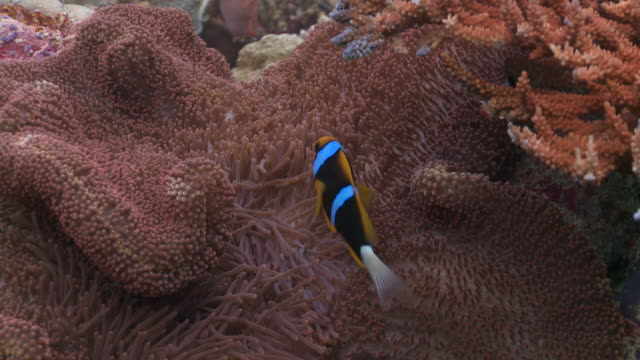 ms anemone fish and anemone / palau, micronesia, palau  - palau stock videos & royalty-free footage