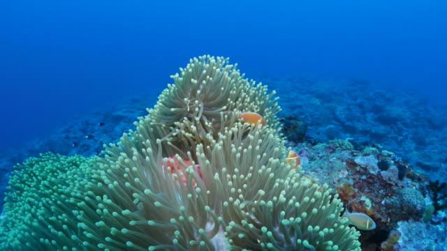 anemone fish, sea anemone, symbiotic relationship behavior - symbiotic relationship stock videos & royalty-free footage