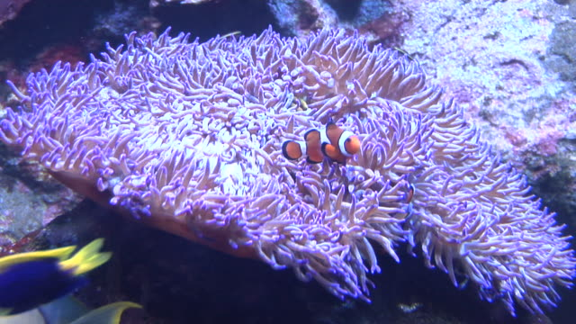 MS, Anemone fishes (Amphiprion perideraion) in sea anemone, Sydney Aquarium, Australia