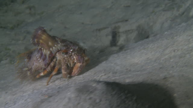 vidéos et rushes de anemone hermit crab (dardanus pedunculatus) covered with protective coat of anemones, southern visayas, philippines - anémone de mer