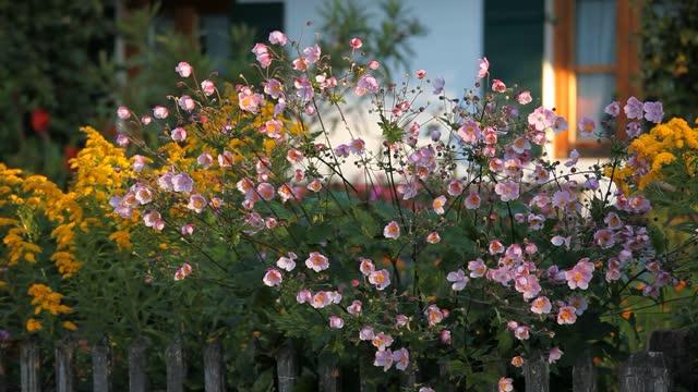 anemone hupehensis ion cottage garden - frühling stock-videos und b-roll-filmmaterial