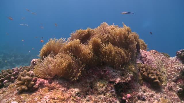 anemone, maamigili, south ari atoll, the maldives - ari atoll stock videos & royalty-free footage