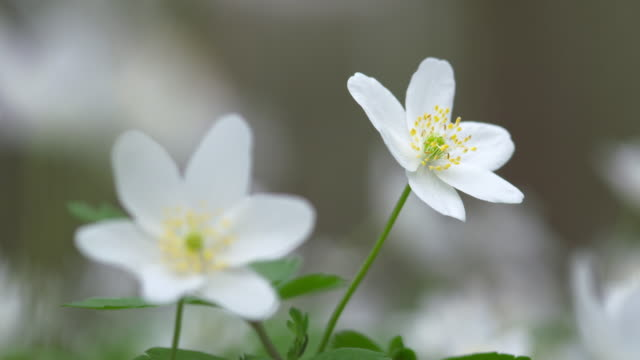 Anemone nemorosa (wood anemone) close up.