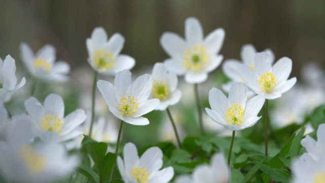 anemone nemorosa (wood anemone) in forest. bavaria, germany. - staubblatt stock-videos und b-roll-filmmaterial