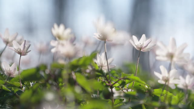 Anemone nemorosa (wood anemone) in forest.