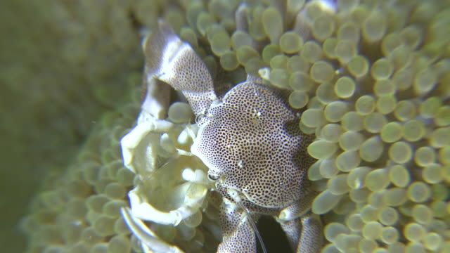 anemone porcelain crab (neopetrolisthes ohshimai) catching food, southern visayas, philippines - claw stock videos and b-roll footage