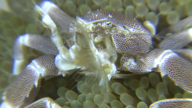 anemone porcelain crab (neopetrolisthes ohshimai) catching food, southern visayas, philippines - klaue stock-videos und b-roll-filmmaterial