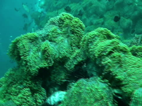 ms, anemone reef and orange spotted rabbitfishes (siganus guttatus) picking jellyfish (class scyphozoa), phuket, thailand - seeratte stock-videos und b-roll-filmmaterial