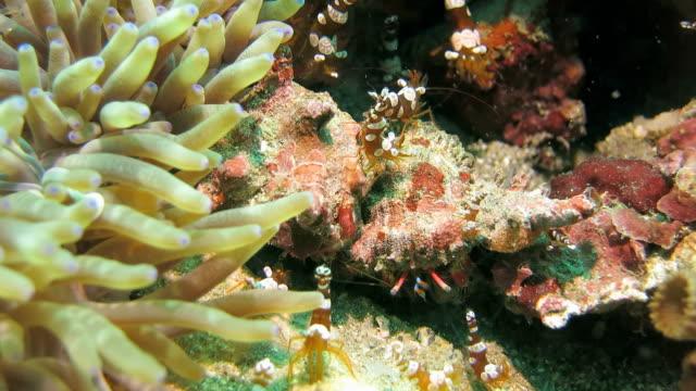 anemone di gamberi arrivato nei pressi del granchio eremita - anemone di mare video stock e b–roll