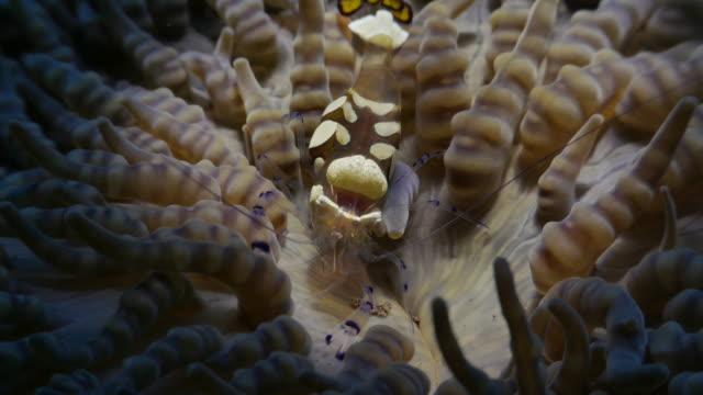 anemone shrimp symbiotic with sea anemone, indonesia (4k) - shrimp stock videos & royalty-free footage