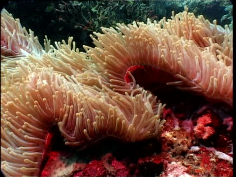 anemone tentacles waft in strong current, walindi, new britain - sea anemone stock videos and b-roll footage