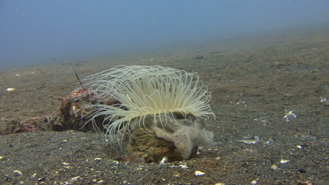 stockvideo's en b-roll-footage met anemone tube worm - kokerworm