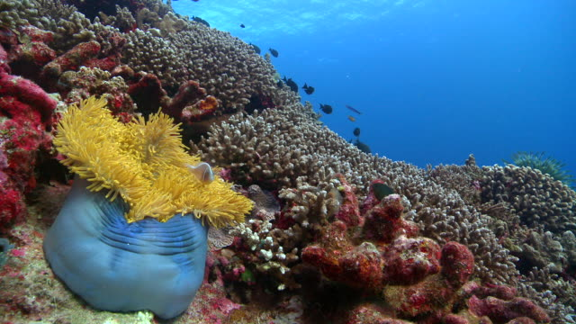 MS Anemone with clownfish in coral reef / Layang Layang, Sabah, Malaysia