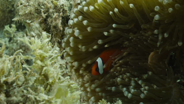 anemonefish (amphiprion melanopus) amongst tentacles of anemone (entacmaea quadricolor) - sea anemone stock videos & royalty-free footage