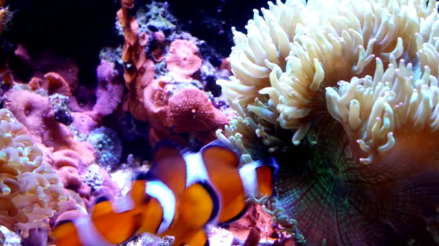 anemonefish, clownfish - sea anemone stock videos and b-roll footage