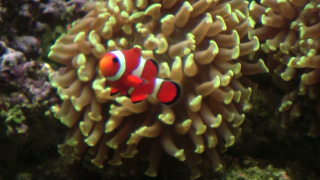 stockvideo's en b-roll-footage met anemonefish, damselfish, percula clownfish in anemone, hd - clownvis