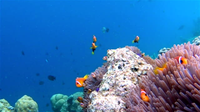 anemonefish in a anemone on maldives - sea anemone stock videos and b-roll footage