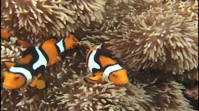 anemonefish (amphirion species) in anemone. papua new guinea - クマノミ亜科点の映像素材/bロール