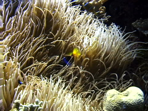 anemonefish on a south pacific coral reef - tierisches exoskelett stock-videos und b-roll-filmmaterial