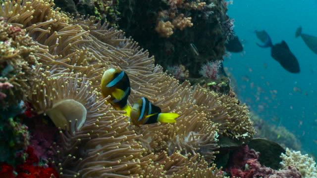 anemonefish swim over anemone, bali. - sea anemone stock videos & royalty-free footage