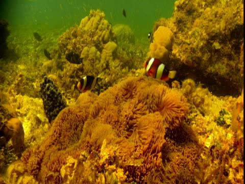 anemonefish swim over their protective anemones. - symbiotiskt förhållande bildbanksvideor och videomaterial från bakom kulisserna