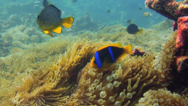 / anemonefish swimming among tentacles of a sea anemone - reef stock videos & royalty-free footage