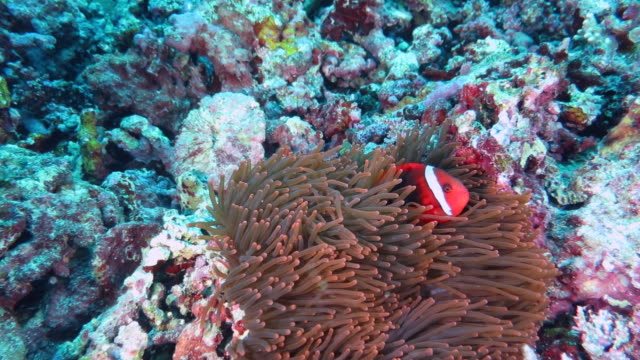 anemonefish swimming in ishigaki island, okinawa, japan - クマノミ亜科点の映像素材/bロール